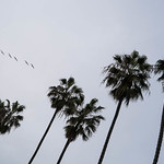 Palm Trees in La Jolla, California thumbnail