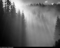 20160621_7k Forest in morning mist near Rjukan, Norway (ratexla) Tags: ratexlasnorwaytrip2016 1000views norway 21jun2016 2016 canonpowershotsx50hs norge scandinavia scandinavian europe beautiful earth tellus photophotospicturepicturesimageimagesfotofotonbildbilder europaeuropean summer travel travelling traveling norden nordiccountries roadtrip wanderlust journey vacation holiday semester resaresor sommar nature landscape scenery scenic norwegian ontheroad morning fog mist dimma dis morgondimma forest trees blackandwhite bw monochrome svartvitt svartvit svartvita ratexla unlimitedphotos almostanything spruce tree gran granar favorite