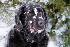 Snow Dog (SkyeHar) Tags: dog snow labradoodle portrait pet winter hund chien perro dogs sonya6300 eyes bokeh cold weather dof