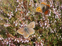 Neighbour's (Kevin Pendragon) Tags: brown argus small copper heather sun sunshine walk outdoors outside orange yellow spots nature naturephotography insect