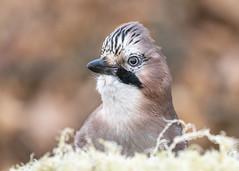 Jay Portrait (cazalegg) Tags: bird jay scotland nature wildlife forest wood garden dumfriesshire nikon