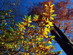 Golden October   Goldener Oktober (André-DD) Tags: herbst fall autumn dresden sachsen saxony germany deutschland laub foliage baum tree laubfärbung fallfoliage trees bäume leaves leaf blatt blätter outside