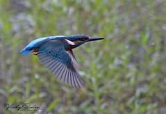 Kingfisher flying past. (vickyouten) Tags: kingfisher kingfisherflying bird nature wildlife canon canon1300d penningtonflash leigh uk vickyouten