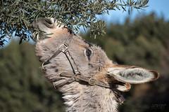 Âne de Provence (jean-louis21) Tags: cheval passion âne de provence olivier