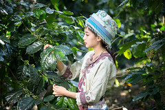 young lady wearing Hmong traditional dress and harvesting coffee in garden at Doi Pui Chiang Mai Thailand. (Sutipond Somnam) Tags: chiangmai doipui farmaerialview farm dress tradition culture asia laos vietnam hmong portrait thailand tree outdoors cheerful adult robusta natural healthy happiness flower coffee arabica beautiful beauty caucasian cute face fashion female girl green hair happy lifestyle model nature outdoor park people person pretty smile summer white woman young
