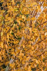 Autumn colours in York, 2018 - 10 (nican45) Tags: 06112018 18135 18135mm 2018 6november2018 csc fuji fujifilm november xt2 xf18135mmf3556rlmoiswr york yorkshire autumn birch colours fall garden home leaves mirrorless silverbirch tree