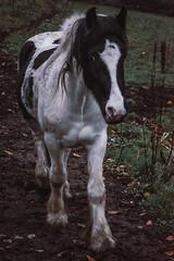 horse (Pawel Skokowski) Tags: horse animal mamal nature