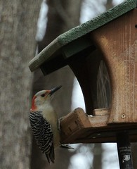 red bellied woodpecker at the feeder (primpenny1) Tags: redbelliedwoodpecker bird wildlife