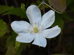 Clematis Flowering in November (Marit Buelens) Tags: plant flower white macro belgium flanders flowering blooming clematis