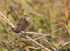 La coquine ;-) (Régis B 31) Tags: cisticolajuncidis cisticoledesjoncs cisticolidés passériformes zittingcisticola ariège bird domainedesoiseaux mazères oiseau
