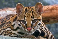Say hello to Rio (ucumari photography) Tags: ucumariphotography rio ocelot cub leoparduspardalis animal mammal nc north carolina zoo spots cat november 2018 dsc2309 specanimal
