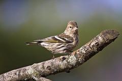 pine siskin up close ( explored ) (G_Anderson) Tags: pine siskin migratory winter birds urban backyard