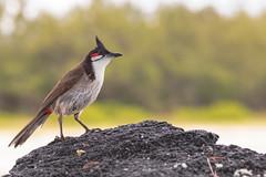 Posing on the volcanic rock. (Gergely_Kiss) Tags: tropicalbird birdsonthebeach birdsmauritius deerislandmauritius ileaixcerfs pycnonotusjocosus ilemaurice mauritius redwhiskeredbulbul