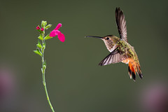 My Guy (Patricia Ware) Tags: allenshummingbird backyard birdsinflight california canon manhattanbeach multipleflash selasphorussasin tripod ©2018patriciawareallrightsreserved specanimal sunrays5