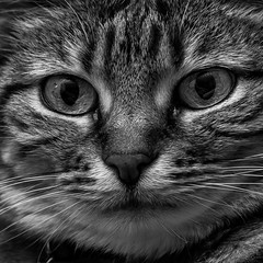 Hypnose (Pierre Villanti) Tags: chat cat portrait choupette canoneos5dmarkiv tamronsp90mmf28divcusdmacro11f017 bw nb