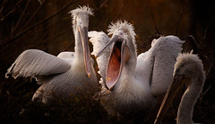 What do you mean you don't like my hair??? (Billy Currie) Tags: pelican nature bird hairstyle funny evening sunset chester zoo