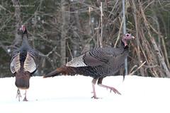 Wild Turkey (Meleagris gallopavo) (Frank Mantlik) Tags: adirondackpark meleagrisgallopavo newyork wildturkey winter