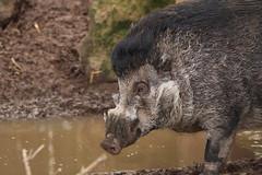 Elvis (charliejb) Tags: visayanwartypig visayan pig porcine mammal 2019 bristolzoogardens bristolzoo bristol wildlife elvis