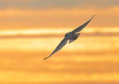 Sunset Snowy (T L Sepkovic) Tags: snowyowl owl raptor birdsofprey wildlife wildlifephotography creativewildlife canon 5dmkiv teamcanon sunset goldenhour silhouette birdsinflight bif