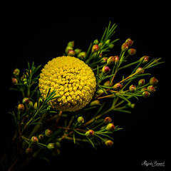 Bouquet (Magda Banach) Tags: canon canon80d sigma150mmf28apomacrodghsm blackbackground bouquet colors flora flower green macro nature plants yellow