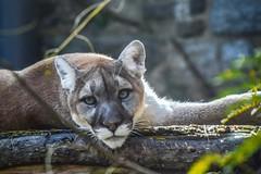 Puma (Beangrau12) Tags: puma bigcat philadelphiazoo philadelphiapennsylvania nikon3200 tamron16300