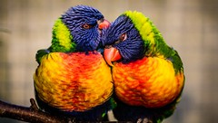 Lorikeets (Tim Bullock Photography) Tags: lorikeets bird photography wildlife animal nature longleat wiltshire
