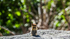 Tip 13: Judging when to break the rules (yamanoor) Tags: chipmunk squirrel animal mammal rodent biology zoology nature photography golden mantled california lassen volcanic national park wildlife wild bokeh effects tips rules breaking wide angle cascade mountains environment ecology preservation conservation public lands trails hiking canon adobe lightroom
