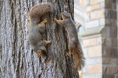 217/365/3869 (January 14, 2019) - Fox Squirrels in Ann Arbor at the University of Michigan - January 14th, 2019 (cseeman) Tags: gobluesquirrels squirrels foxsquirrels easternfoxsquirrels michiganfoxsquirrels universityofmichiganfoxsquirrels annarbor michigan animal campus universityofmichigan umsquirrels01142019 winter eating peanuts acorns januaryumsquirrel 2019project365coreys yearelevenproject365coreys project365 p365cs012019 356project2019