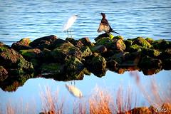 Amici diversi !! (erman_53fotoclik) Tags: amici diversi fauna uccelli acqua sassi massi molo garzetta marangone canon eos 500d erman53fotoclik sacca scardovari riva erba riflesso laguna