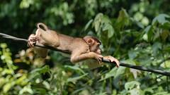 Mission Impossible (iamfisheye) Tags: longtailedmacaques crabeatingmacaque olympus macacafascicularis sepilok sepilokorangutansanctuary primate monkey borneoapril2018 camera oldworldmonkey mkii kit macaque em1 animal