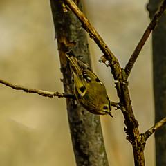 Goldcrest (ianbartlett) Tags: outdoor 365 nature wildlife trees monochrome landscapes leaves squirrel goldcrest