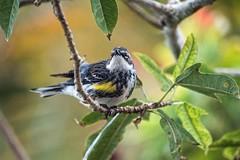 Among The Branches (ACEZandEIGHTZ) Tags: nikon d3200 yellowrumped warbler avian feathered closeup setophagacoronata male songbird bokeh nature backyard birdwatcher