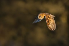 Barn Owl (Phil Gower Bird Photography) Tags: barn owl bird flight wildlife nature
