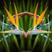 Strelitzia Bird of Paradise composite (mahesh.kondwilkar) Tags: africa birdofparadise capetown kirstenbosch southafrica strelitzia flower flora westerncape nature