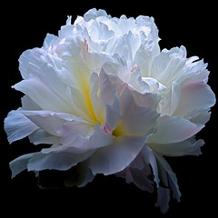 Peony (Pixel Fusion) Tags: nature nikon flora flower aperture macro d600 photoshop peony