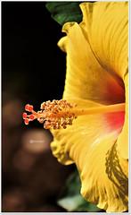 """How wonderful yellow is. It stands for the sun"" (Ramalakshmi Rajan) Tags: hibiscus yellow flowers flower inmygarden nikon nikond750 nikkor70300mm bloom"