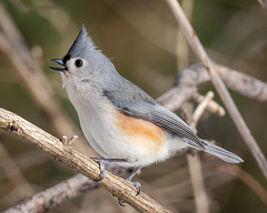 Very Animated Titmouse (tresed47) Tags: 2019 201902feb 20190202chestercountybirds birds canon7dmkii chestercounty content february folder pennsylvania peterscamera petersphotos places season takenby tit us winter