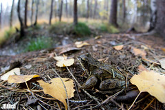 Common Frog, Rana temporaria @ Colditzer Forst 2018 (Jan Rillich) Tags: jan rillich janrillich picture photo photography foto fotografie eos digital wildlife animal nature beautiful beauty sunny sun fauna flora free animalphotography auwald auenwald aue elster leipzig image 2018 mai 5dmarkiii canon commonfrog grasfrosch ranatemporaria colditz colditzerforst autumn fall november sigma15mmf28 wideangle weitwinkel fisheye sigma 15mm sigma15mm fun sigmafisheyedg15mmf28 sigma15mmf28exdgdiagonalfisheye