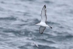 Buller's Shearwater, ~25 m. offshore, Lincoln Co., OR__5550(2) (Patterns and Light) Tags: 2018 oregon puffinusbulleri puffinus bulleri