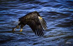 Bald Eagle (jt893x) Tags: 150600mm americanbaldeagle baldeagle bif bird d500 eagle fish haliaeetusleucocephalus jt893x nikon nikond500 raptor sigma sigma150600mmf563dgoshsms coth alittlebeauty thesunshinegroup coth5 sunrays5