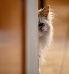 I think the cat was stalking me. (jimbobphoto) Tags: cat mainecoon animal hunter