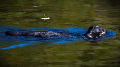 Mink with Rat. The Dodder river. (mond.raymond1904) Tags: mink dodder river rat catch
