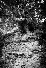 Overgrown Roman wall (a.pierre4840) Tags: olympus xa 35mm f28 35mmfilm ilford ilfordhp5 hp5 hp5plus bw blackandwhite monochrome noiretblanc wall tree silchester hampshire england roman fotor artfilter ruined