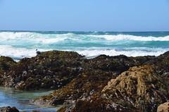 DSC_0883 (afagen) Tags: california pacificgrove montereypeninsula asilomar beach pacificocean ocean asilomarstatemarinereserve bird