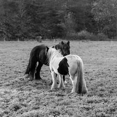 Two of a Kind (Robin Mulligan) Tags: nikon nikonpassion nikond810 horse horsepower pair love mono monochrome blackandwhite bw tamron vanguard