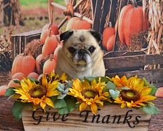 Counting My Blessings (DaPuglet) Tags: pug pugs dog dogs pet pets thanksgiving animal animals holiday november sunflowers pumpkins givethanks blessing coth5