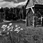 A Picturesque Setting for Daisies Along the Stehekin River (Black & White, North Cascades National Park Service Complex) thumbnail
