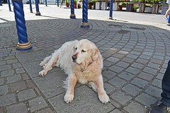 Aston R.I.P. (cmw_1965) Tags: aston porthcawl golden retriever dog old elderly band stand bandstand john street