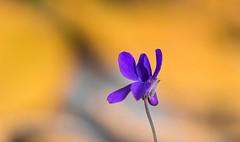 Autumn flower (Torok_Bea) Tags: autumn amazing autumncolor nikon natur nikond7200 nature beautiful bokeh wonderful flowers flower color macro viola ibolya autumnflowers flowerbokeh