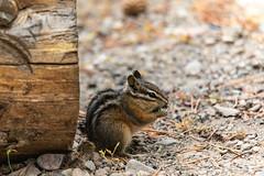 ChipmunkSeptember 24, 2018.jpg (kopperlben) Tags: rodents northamericaunitedstates colterbay chipmunks nationalparks grandtetonsnationalpark animalsmammal wyoming moran unitedstates us